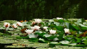 Water lilies bloom with the coming of the sun